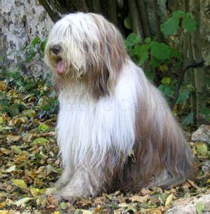 The dog in world: Briard dogs