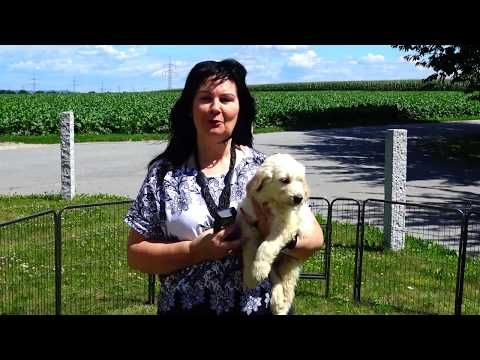 Labradoodle tiervermittlung | ob labradoodle in not